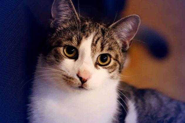 Foto Katze Kater lebendiges Tier ausdrucksstark silber grau braun weiß