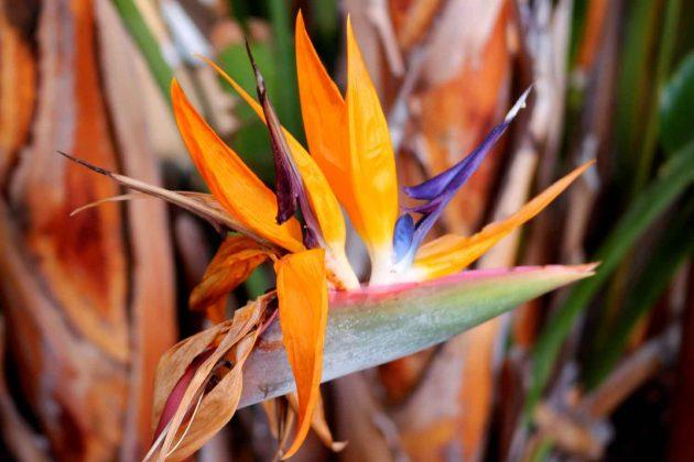 Foto Strelitzien Pflanzen Blumen warme bunte Farben orange