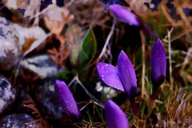 Blume | Pflanze | Violett | Bunt
