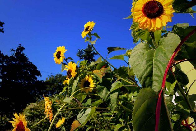 Foto Sonnenblumen Pflanzen Blumen bunte Farben gelb, grün und blau