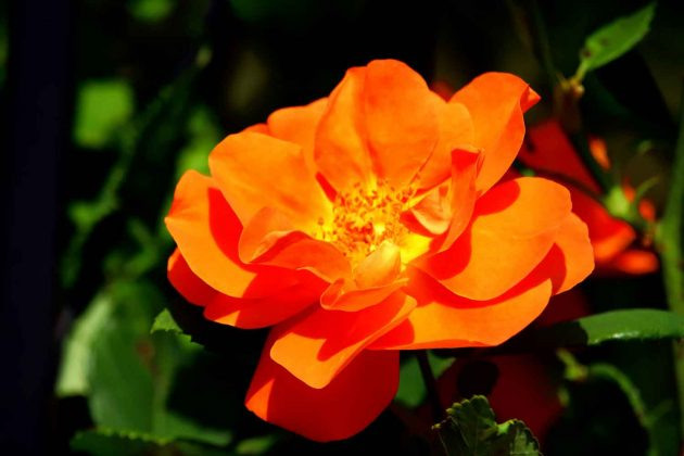 Foto Rose Pflanzen Blumen bunte Farben orange grün