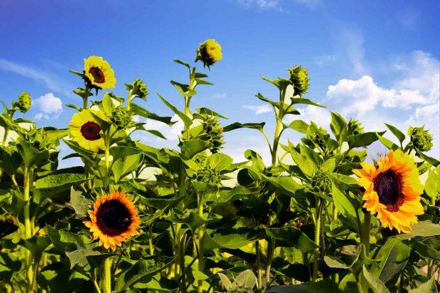 Foto Sonnenblumen Pflanzen Blumen Himmel mit Wolken bunte Farben gelb, grün und blau
